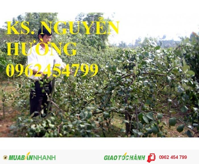 Bán giống táo thái lan, táo đại H15, táo đào vàng, táo chua gia lộc, táo ngọt H12, táo đài loan3