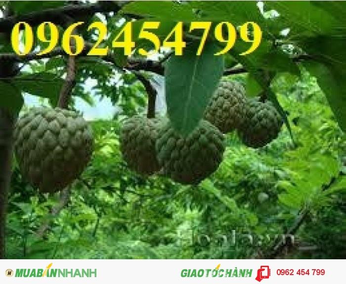 Chuyên cung câp giống cây na thái lan1