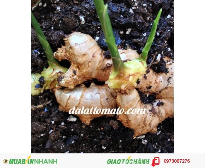 Dalattromato cung cấp các loại gừng giống, giống gừng trâu, giống gừng sẻ – gừng gió, gừng giống hơn 11 tháng, Đảm bảo nguồn gốc xuất xứ rõ ràng. có khả năng thích hợp với nhiều điều kiện khí hậu thổ nhưỡng Việt Nam cho sản phẩm có hương vị chất lượng.2