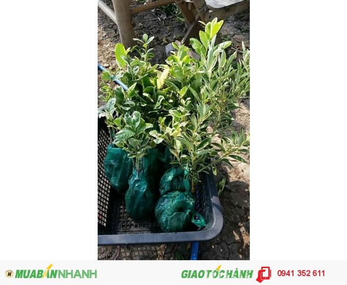 Giống ổi mới lạ xuất tại Việt Nam ko lâu trồng dễ sống giống như cây thường.0