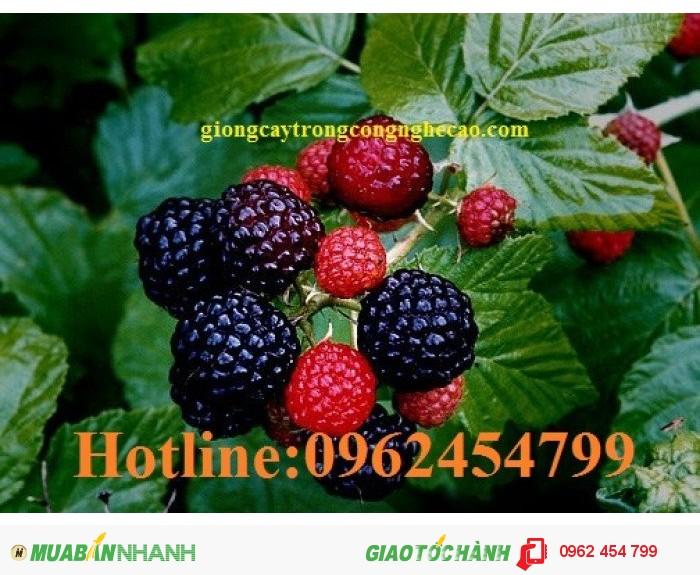 Chuyên cung cấp cây giống và hạt giống Mâm xôi hay đùm đũm, phúc bồn tử0