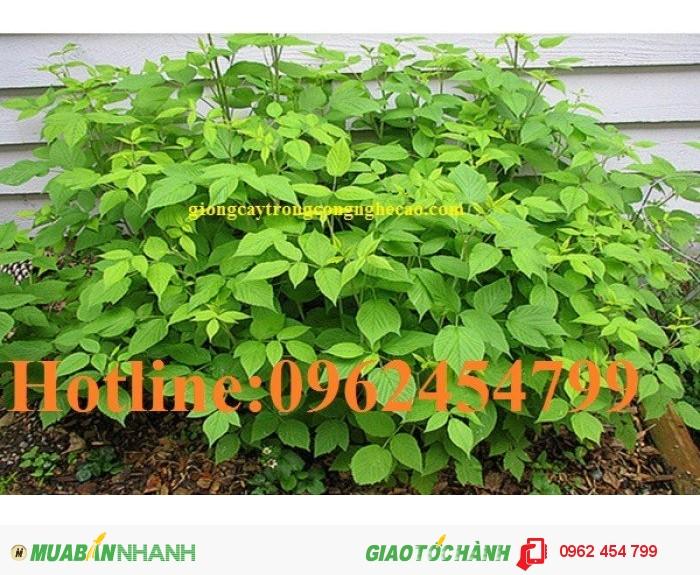 Chuyên cung cấp cây giống và hạt giống Mâm xôi hay đùm đũm, phúc bồn tử1