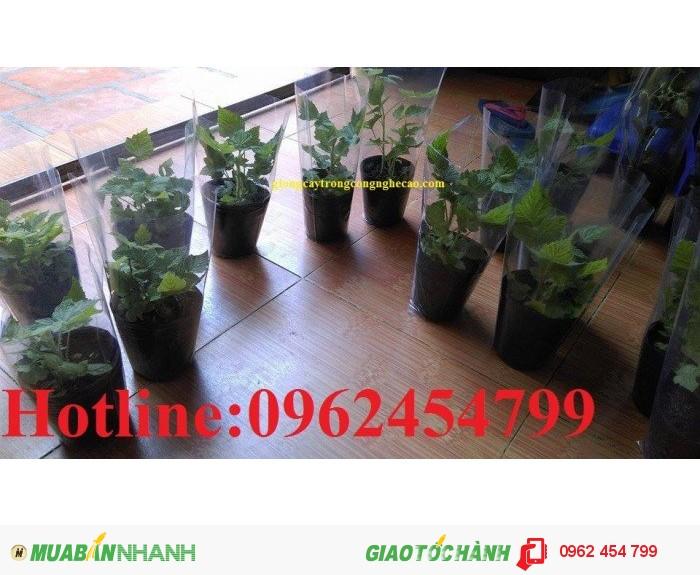 Chuyên cung cấp cây giống và hạt giống Mâm xôi hay đùm đũm, phúc bồn tử2