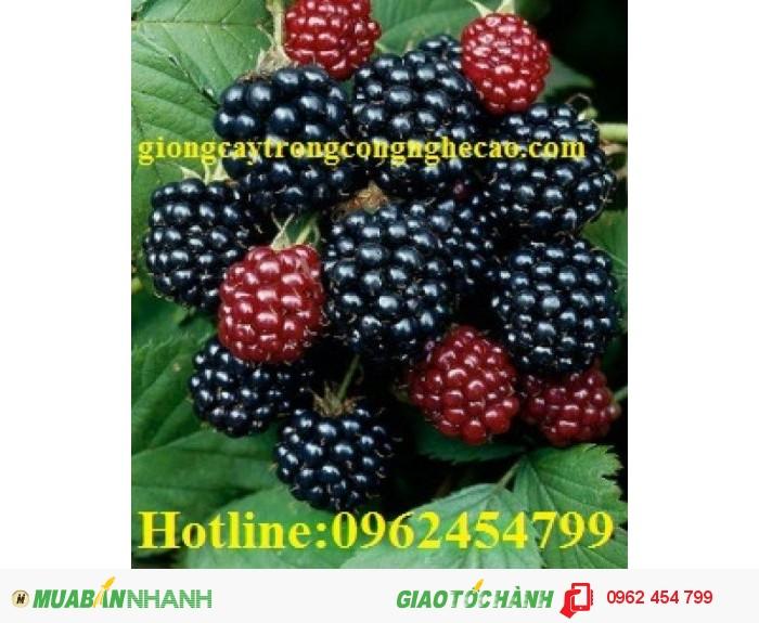 Chuyên cung cấp cây giống và hạt giống Mâm xôi hay đùm đũm, phúc bồn tử3