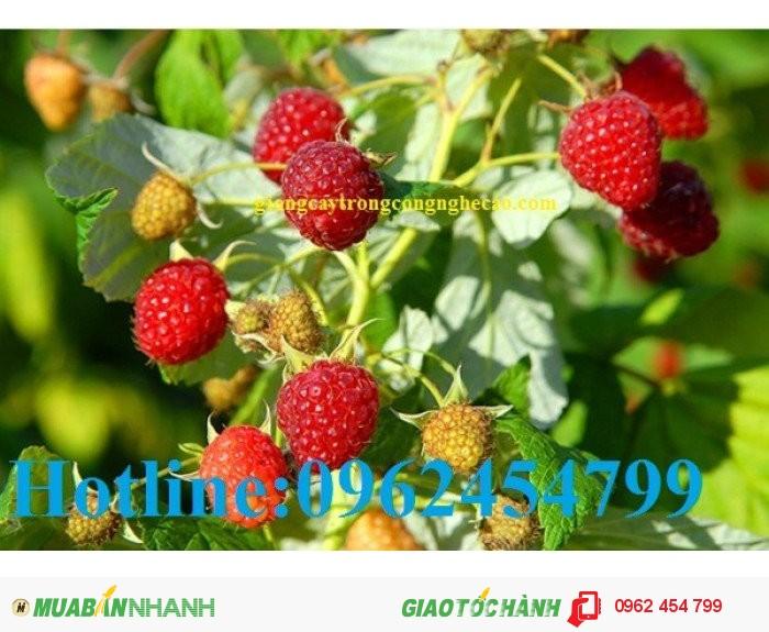 Chuyên cung cấp cây giống và hạt giống Mâm xôi hay đùm đũm, phúc bồn tử4