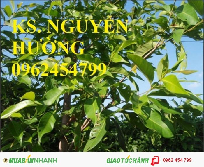 Chuyên cung cấp giống cây roi thái đỏ2