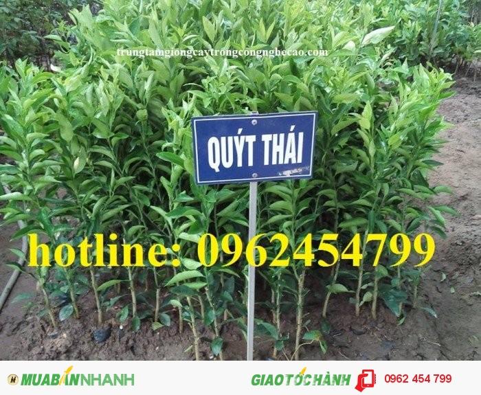 Chuyên cung cấp giống cây quýt đường thái lan chất lượng cao1