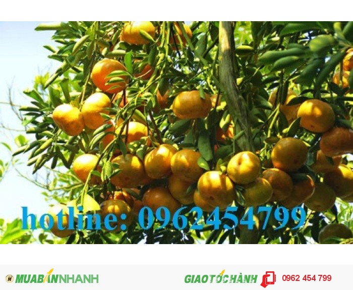Chuyên cung cấp giống cây quýt đường thái lan chất lượng cao2