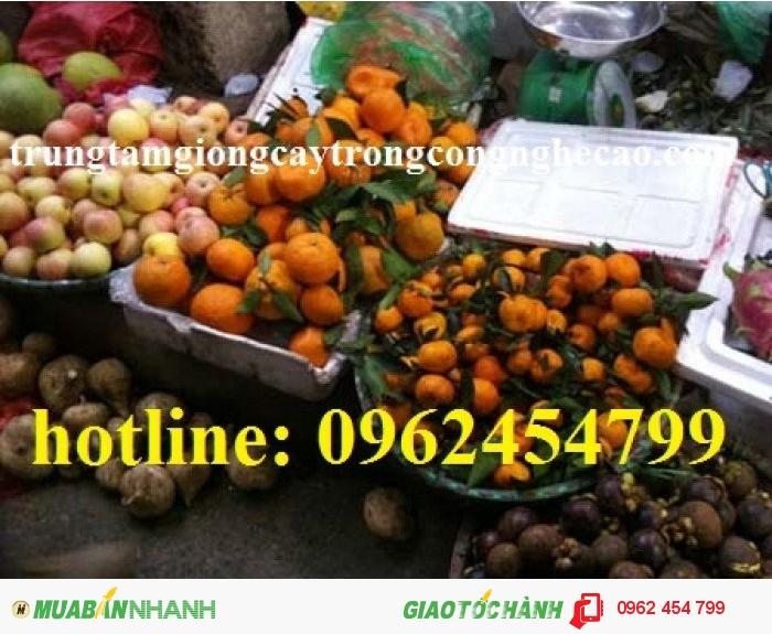 Chuyên cung cấp giống cây quýt đường thái lan chất lượng cao4