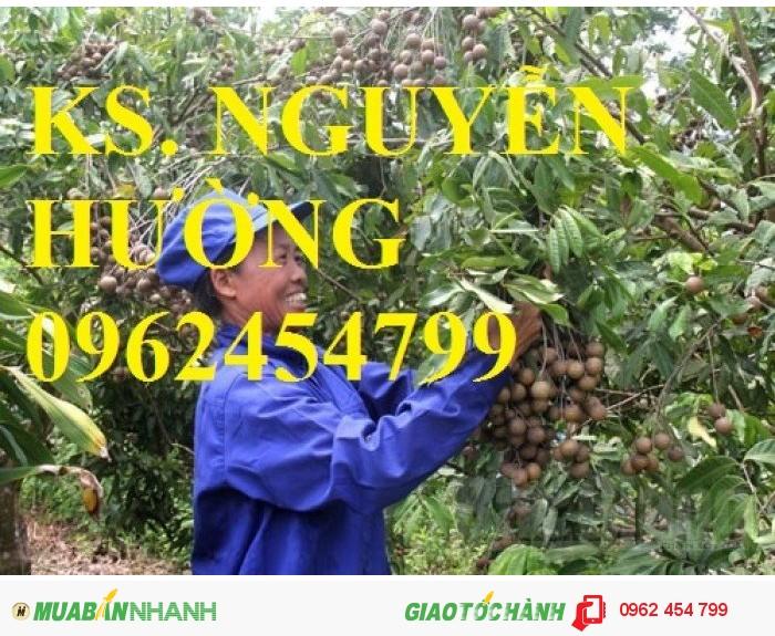 Chuyên cung cấp giống cây nhãn muộn miền Thiết Hưng Yên, nhãn muộn Hà Tây0