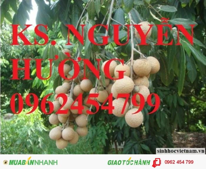 Chuyên cung cấp giống cây nhãn muộn miền Thiết Hưng Yên, nhãn muộn Hà Tây2