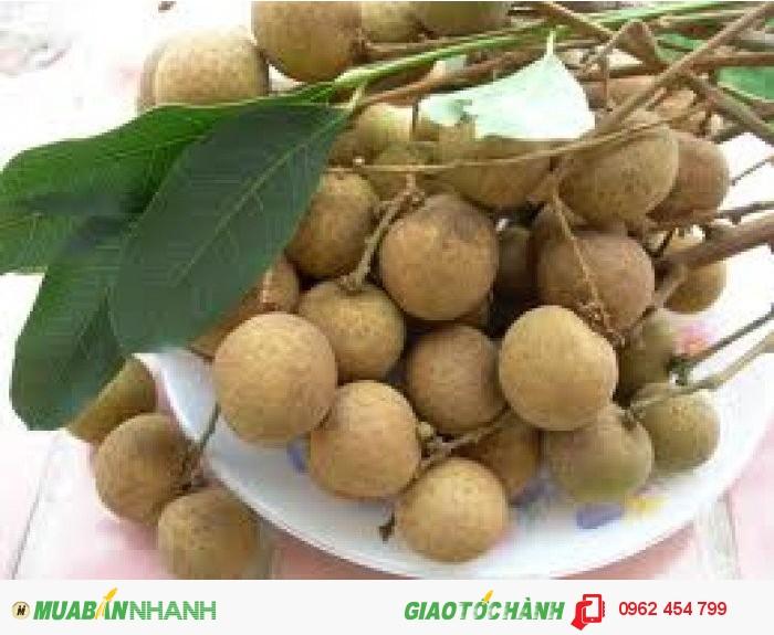 Chuyên cung cấp giống cây nhãn muộn miền Thiết Hưng Yên, nhãn muộn Hà Tây3