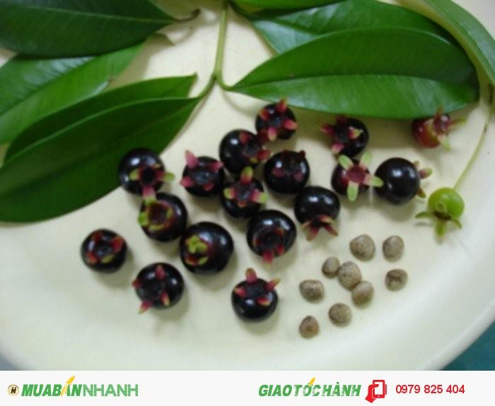 Cherry Brazil tại Việt Nam - MuaBanNhanh
