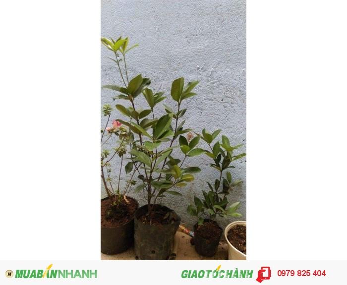 Cây giống Cherry Brazil chất lượng - MuaBanNhanh