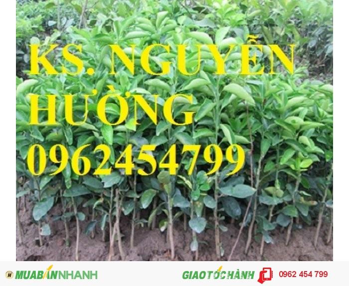 Chuyên cung cấp giống cây cam đường canh2