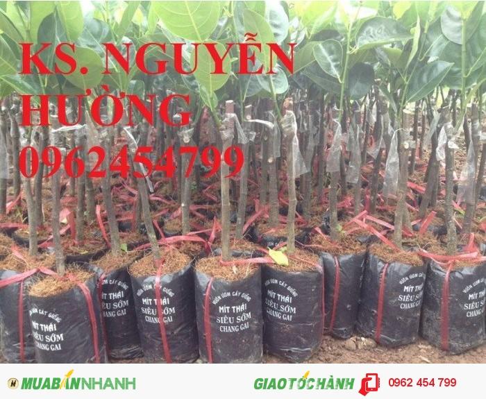 Chuyên cung cấp giống cây mít ruột đỏ, mít thái changai, mít thái không hạt, mít thái siêu sớm, Mít nghệ2