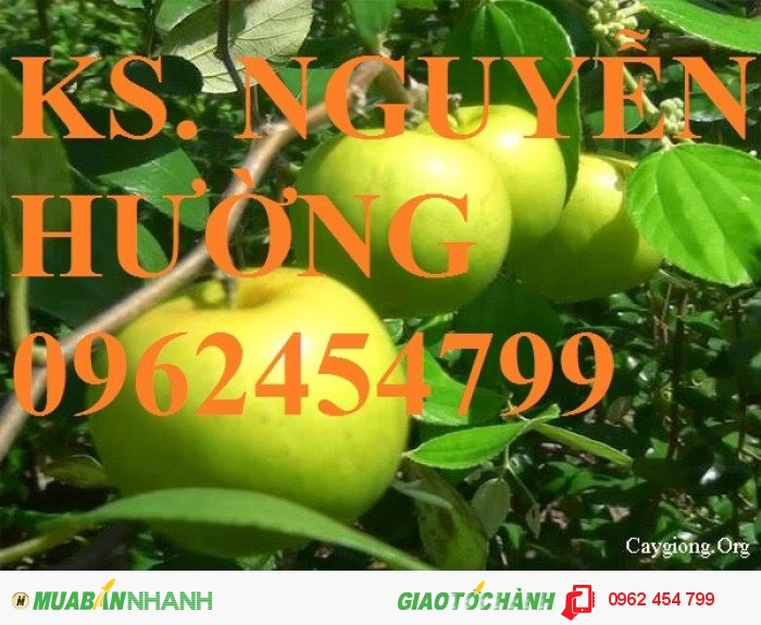 Chuyên cung cấp giống táo thái lan, táo đại, táo đài loan, táo đào vàng0