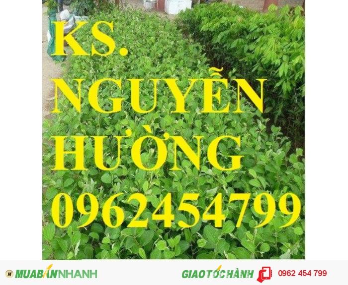 Chuyên cung cấp giống táo thái lan, táo đại, táo đài loan, táo đào vàng1