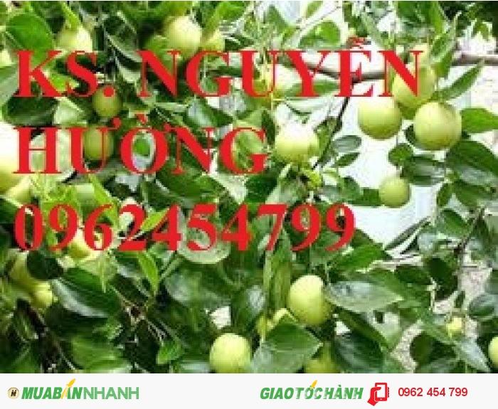 Chuyên cung cấp giống táo thái lan, táo đại, táo đài loan, táo đào vàng3
