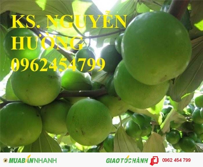 Chuyên cung cấp giống táo thái lan, táo đại, táo đài loan, táo đào vàng4