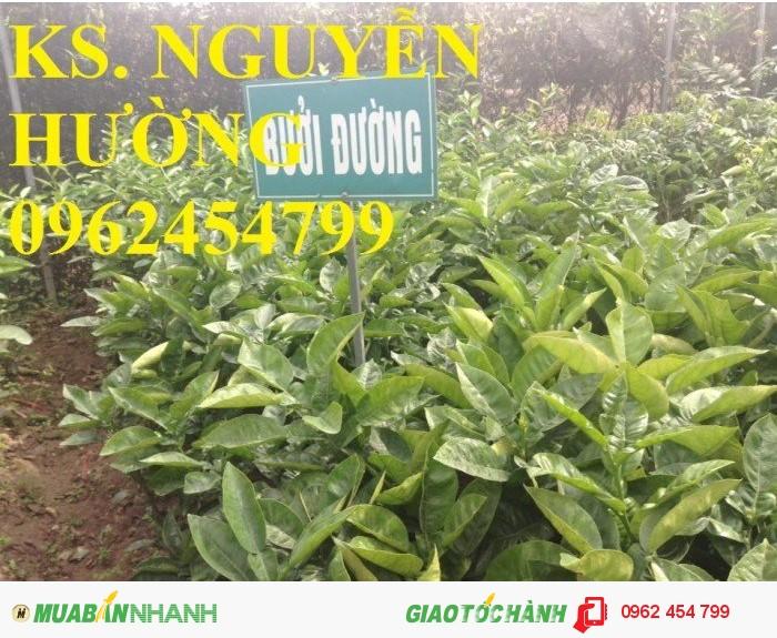 Chuyên cung cấp cây giống bưởi đường quế dương chất lượng cao1