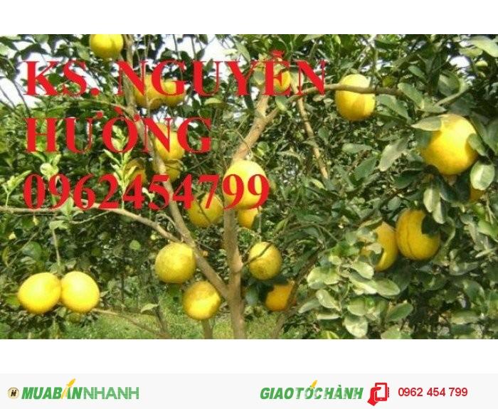 Chuyên cung cấp cây giống bưởi đường quế dương chất lượng cao2