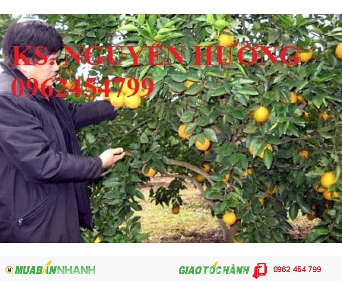 Chuyên cung cấp cây giống cam cara ruột đỏ chất lượng cao1
