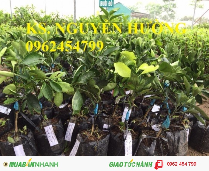 Chuyên cung cấp cây giống cam cara ruột đỏ chất lượng cao2