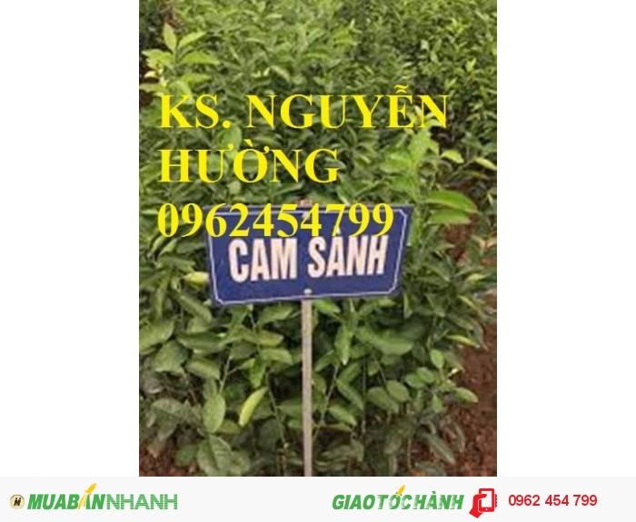 Chuyên cung cấp giống cây cam sành chất lượng cao1