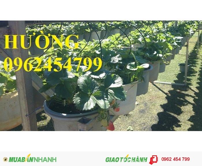 Cung cấp giống cây dâu tây chất lượng cao2
