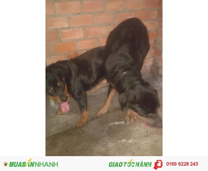 Phối giống chó Rottweiler, dòng thuần chủng2