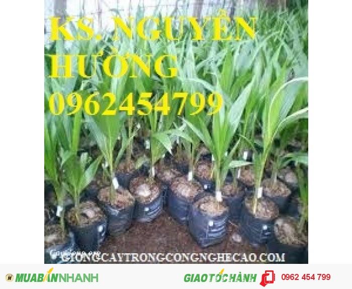 Chuyên cung cấp giống cây dừa xiêm lùn4