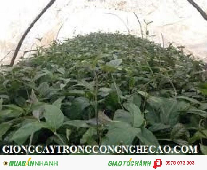 Bán các loại cây dược liệu: Ba kích, Đinh lăng, Cà Gai leo, Hà Thủ ô đỏ, xạ đen, khôi nhung1