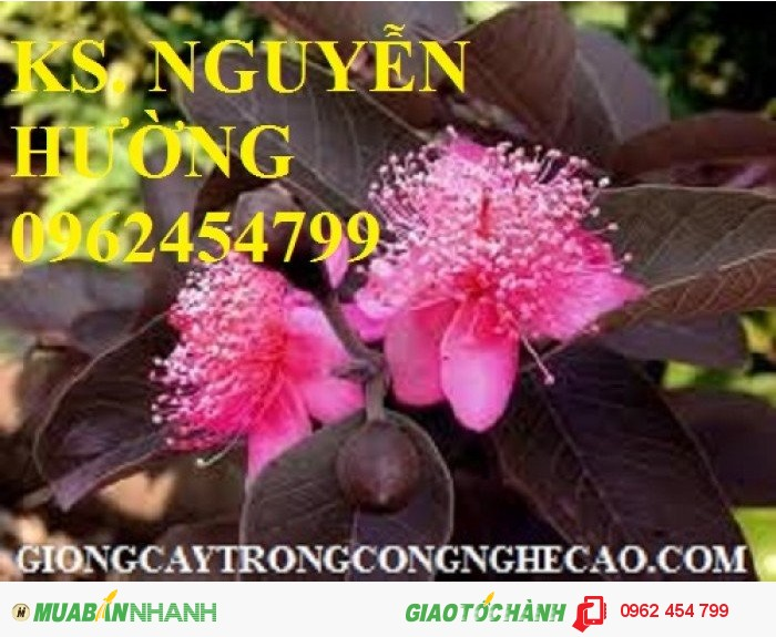 Chuyên cung cấp giống cây ổi tím malaysia0