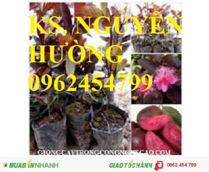 Chuyên cung cấp giống cây ổi tím malaysia2