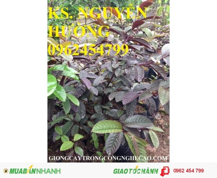 Chuyên cung cấp giống cây ổi tím malaysia4
