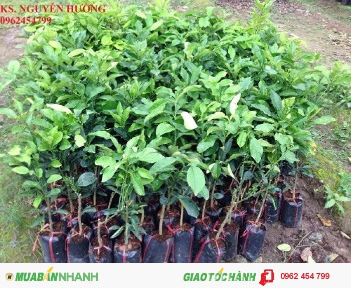 Chuyên cung cấp giông cây chanh tứ quý (chanh tứ thì) hay chanh bốn mùa chuẩn giống1