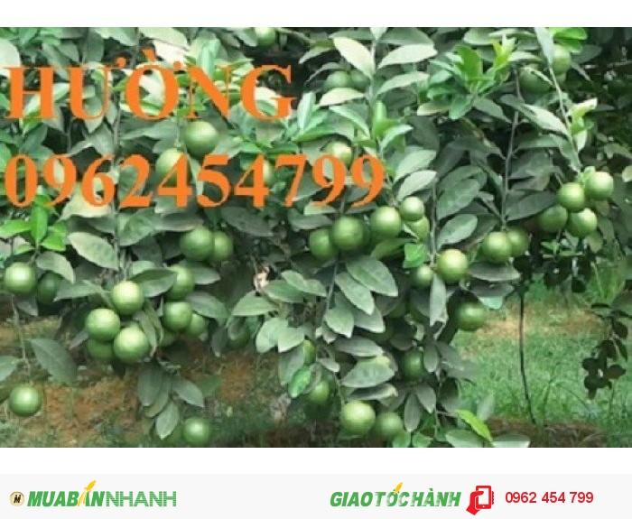 Chuyên cung cấp giông cây chanh tứ quý (chanh tứ thì) hay chanh bốn mùa chuẩn giống2