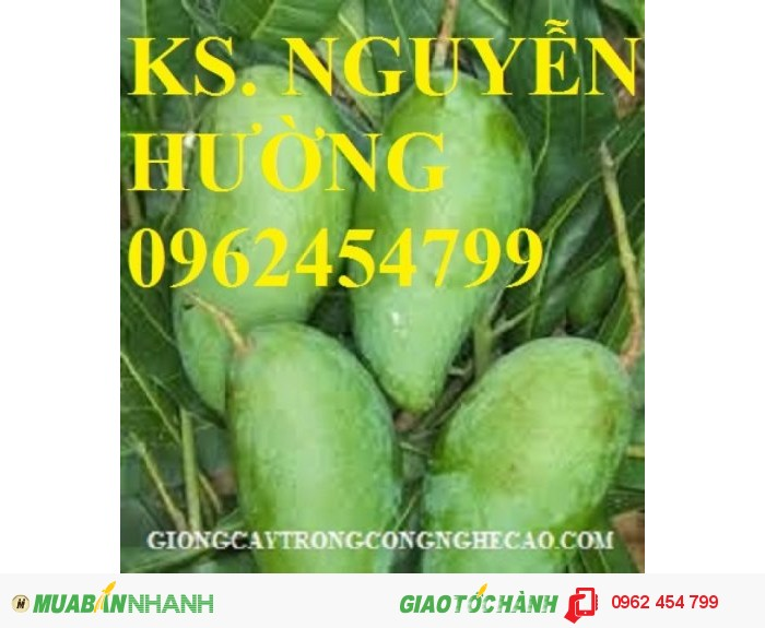 Chuyên cung cấp cây giống xoài thái (xoài thái lan)4