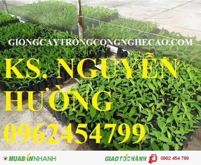 Chuyên cung cấp giống cây chuối tây thái lan nuôi cấy mô chất lượng cao0