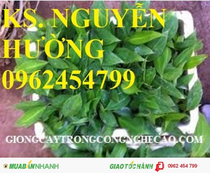 Chuyên cung cấp giống cây chuối tây thái lan nuôi cấy mô chất lượng cao1