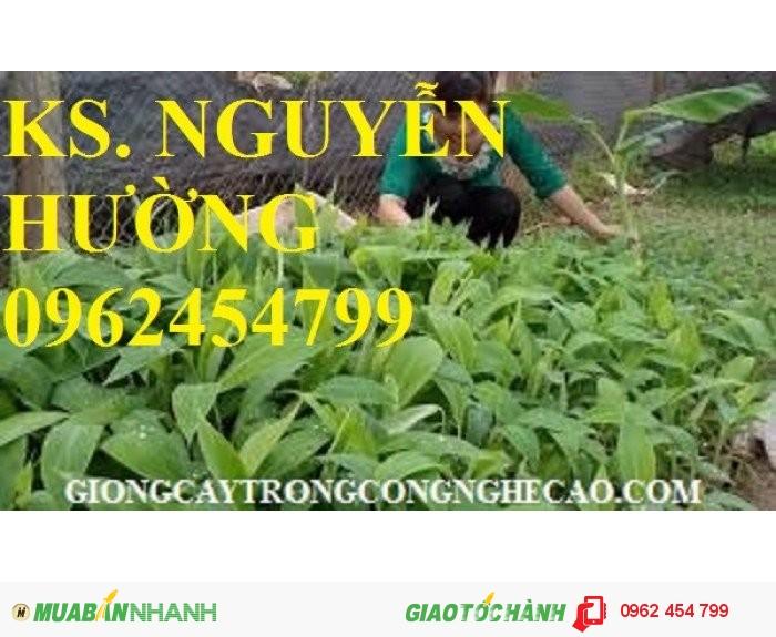 Chuyên cung cấp giống cây chuối tây thái lan nuôi cấy mô chất lượng cao4