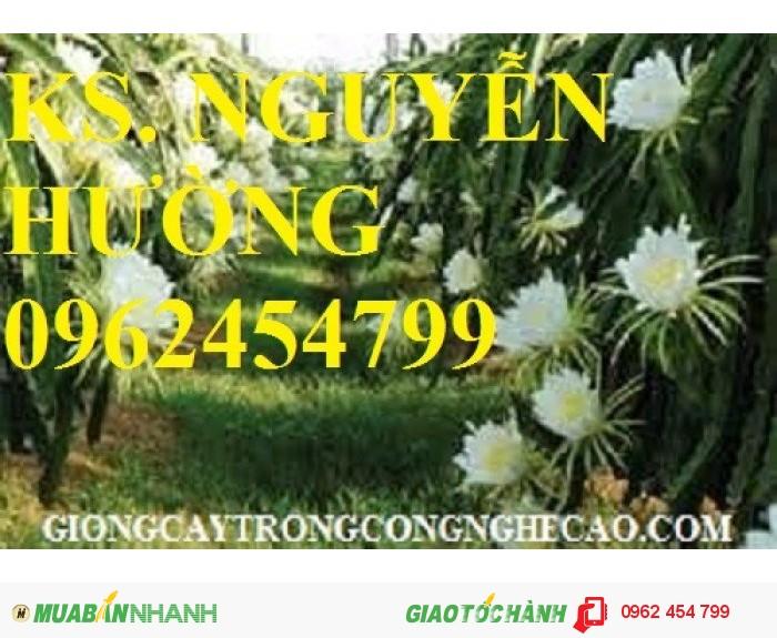 Chuyên cung cấp giống cây thanh long ruột đỏ chất lượng cao2