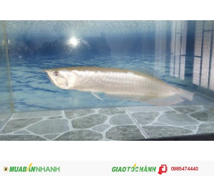 Cá Ngan long 35_400