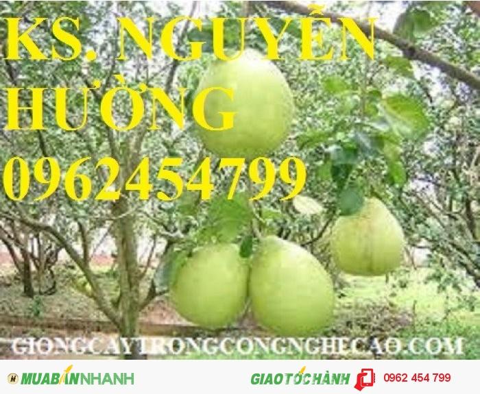 Chuyên cung cấp giống cây bưởi năm roi chất lượng cao1
