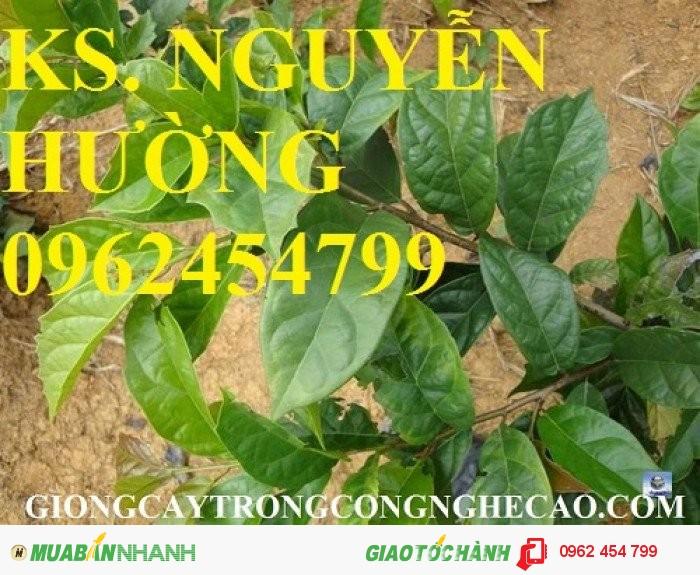 Chuyên cung cấp giống cây xạ đen và sản phẩm xạ đen chất lượng cao1