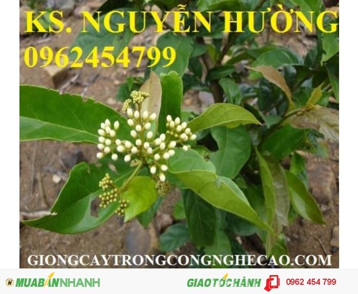 Chuyên cung cấp giống cây xạ đen và sản phẩm xạ đen chất lượng cao2