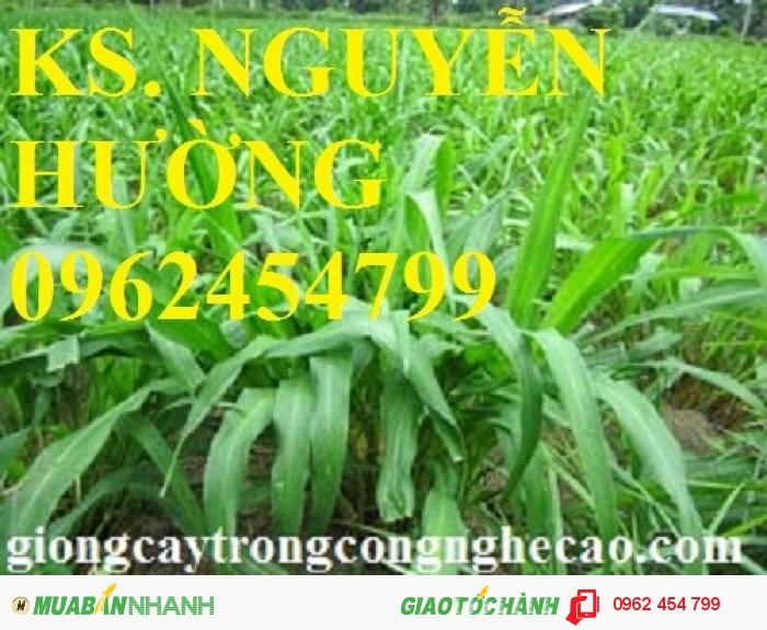 Chuyên cung cấp giống cỏ ghine và hạt giống cỏ ghinê chất lượng cao4