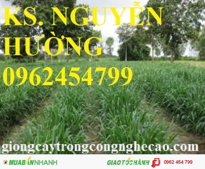 Chuyên cung cấp giống cỏ sweet jumbo và hạt giống cỏ sweet jumbo chất lượng cao1