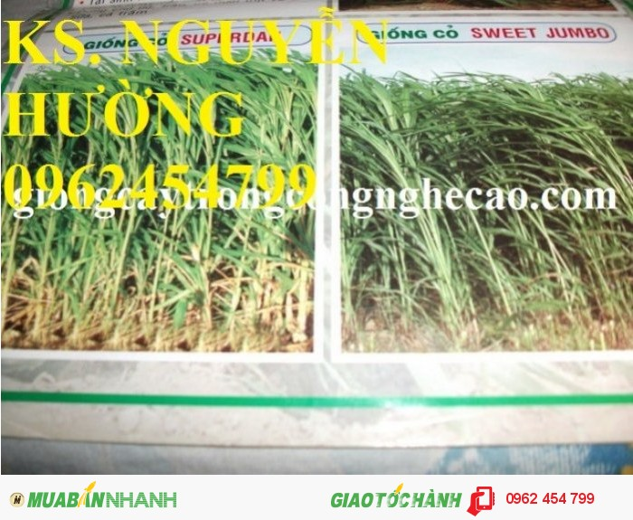 Chuyên cung cấp giống cỏ sweet jumbo và hạt giống cỏ sweet jumbo chất lượng cao2